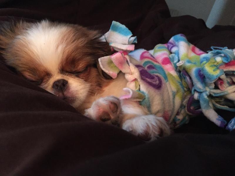 Adopt Japanese Chin Fergie On Petfinder Japanese Chin Affenpinscher Mix Dog Lovers