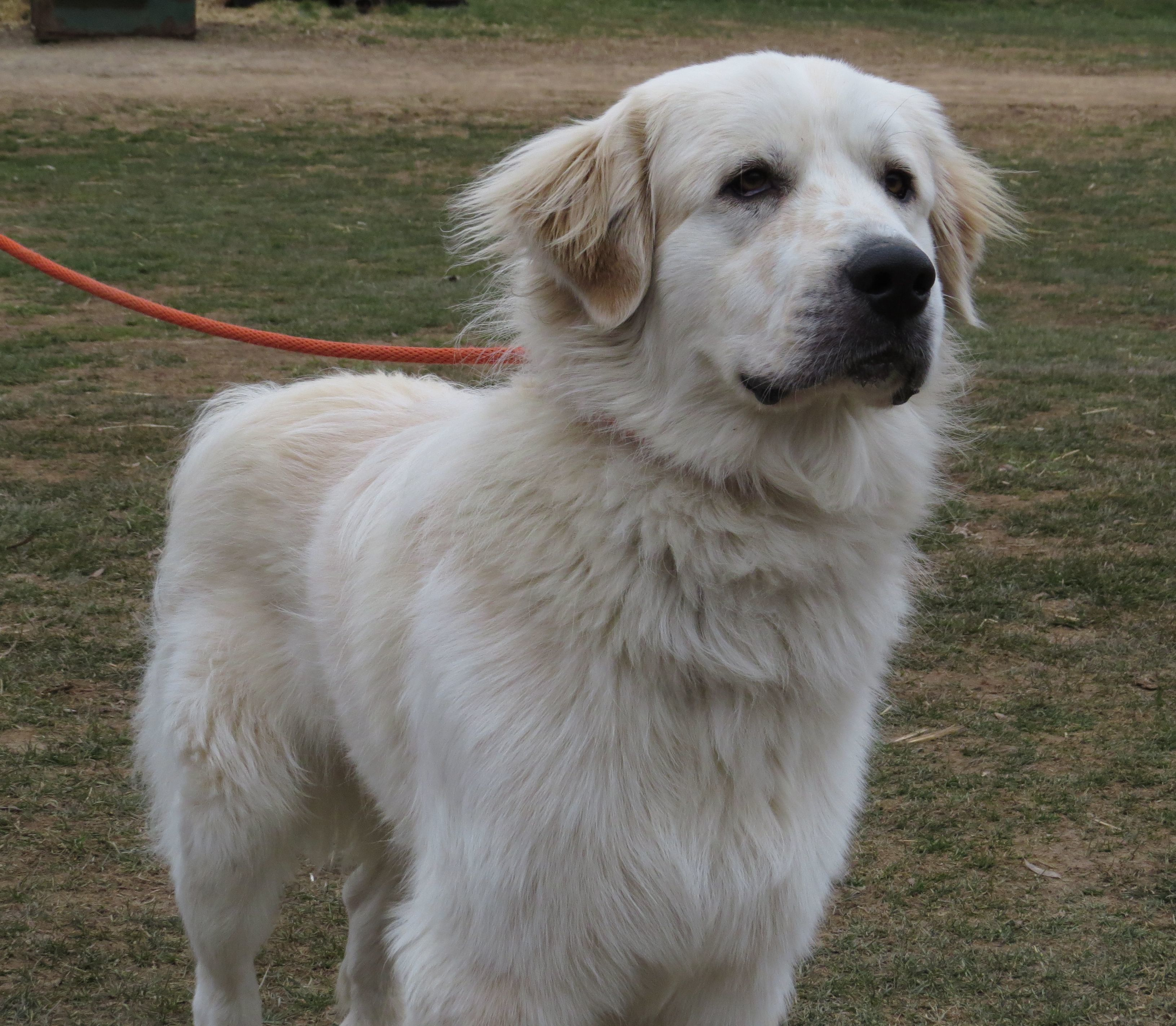 Adopt Ace On Great Pyrenees Dog Shelter Dogs Labrador