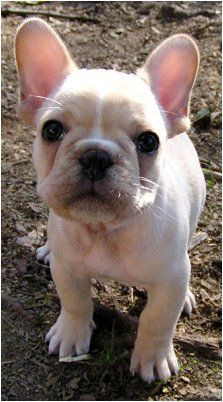 French Bulldog Puppies New York Dear Reslife I Think You Should