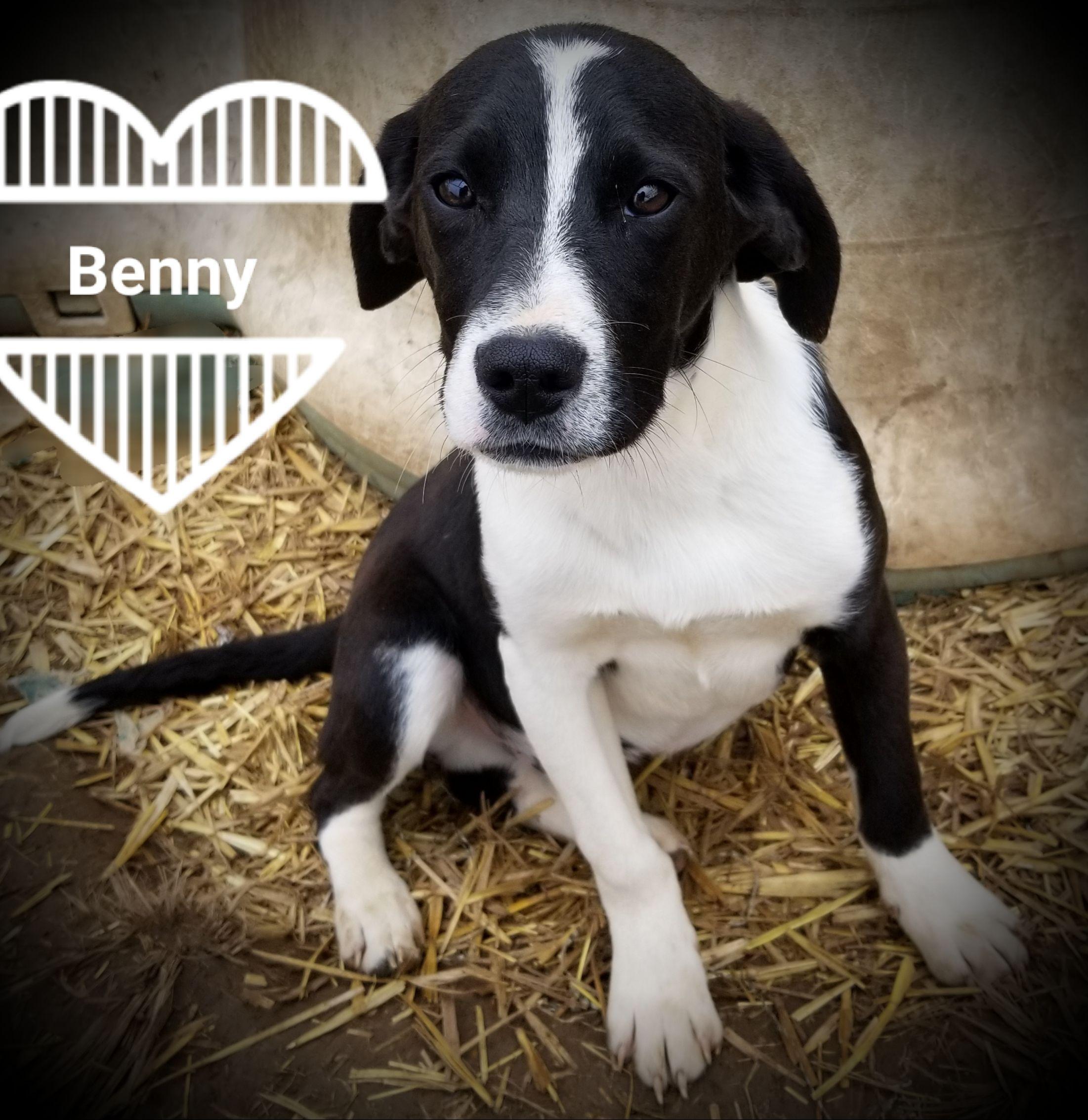 Adopt Benny on Petfinder Boxer mix puppies, Pet adoption