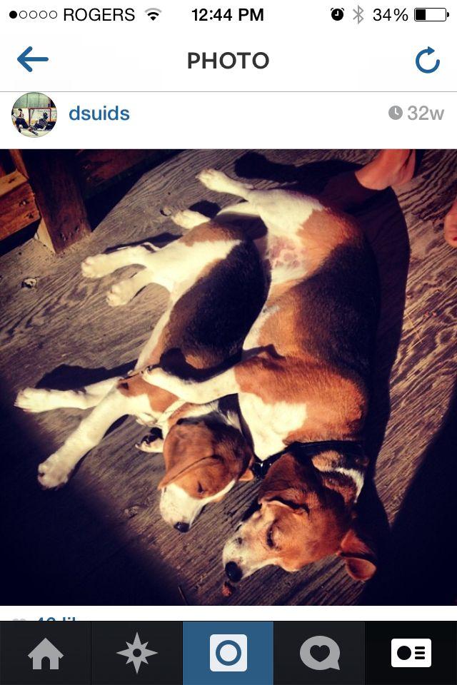#beagles #bennyandlew
