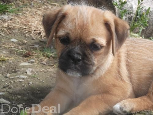 Pug X Jack Russell Jug Pups For Sale In Armagh On Donedeal Dogs For Sale Jug Puppies For Sale Jack Russell