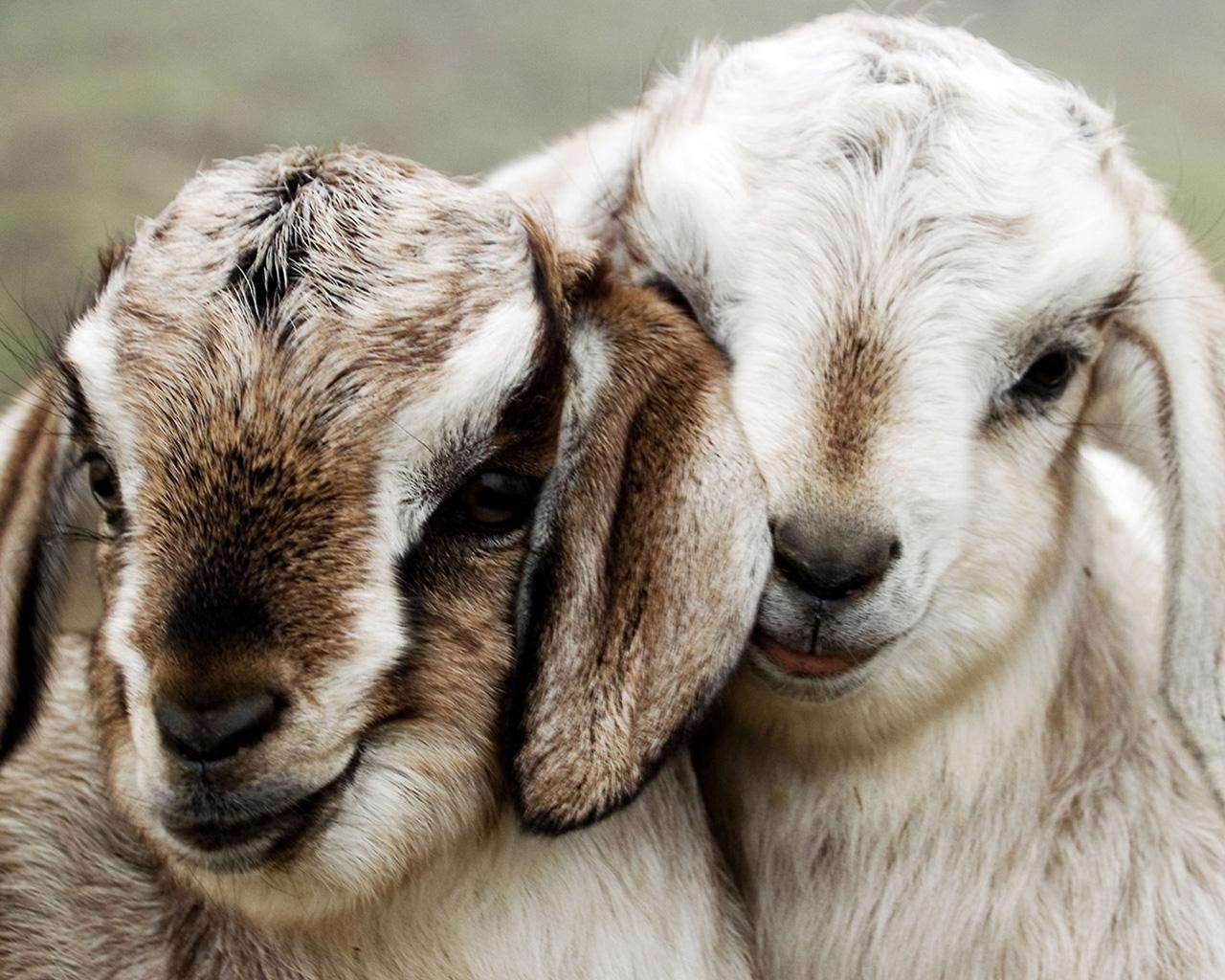 bleat bleat bleat | Furry Friends | Pinterest | Baby goats