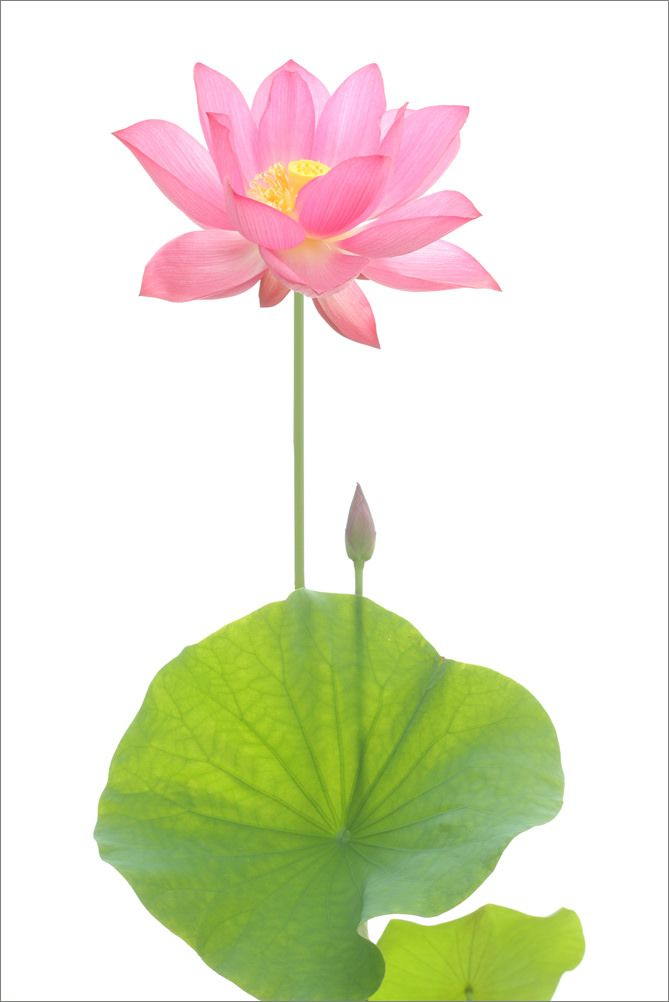 Pink Lotus Flower Annd Leaves In 2019 Bahman Farzad Photography