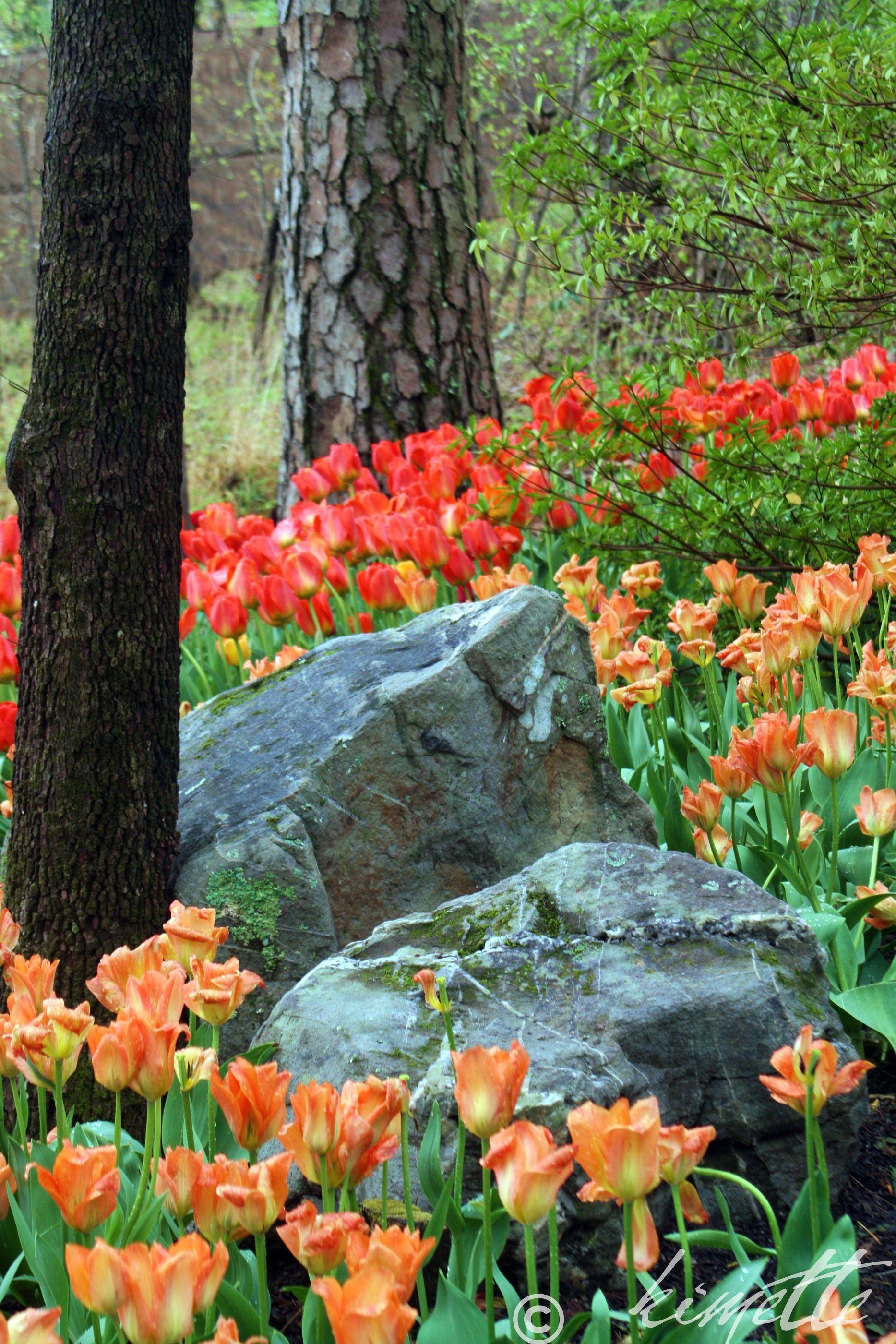 Tulips Garvin Woodland Gardens Hot Springs Ar Arkansas