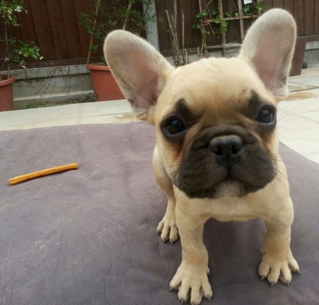 Pin by Julia Sirois on dogs French bulldog puppies, Cute