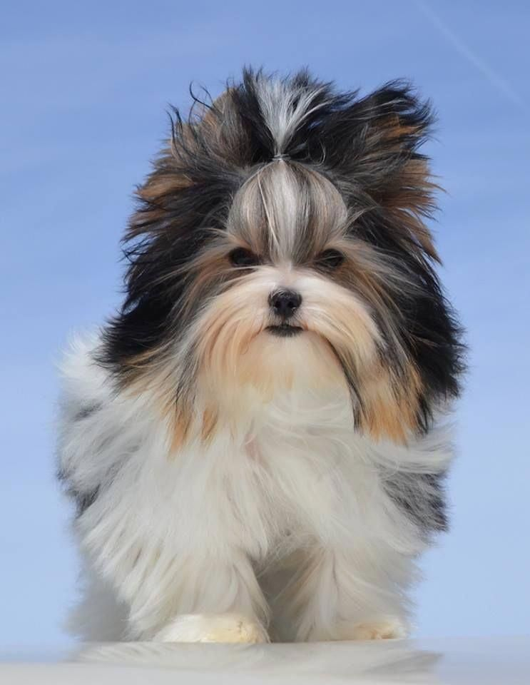 All About The Affectionate Yorkshire Terrier Puppy Size Yorkshireterrierinegypt Yorkshireterriertoy Biewer Yorkie Yorkshire Terrier Yorkshire Terrier Puppies