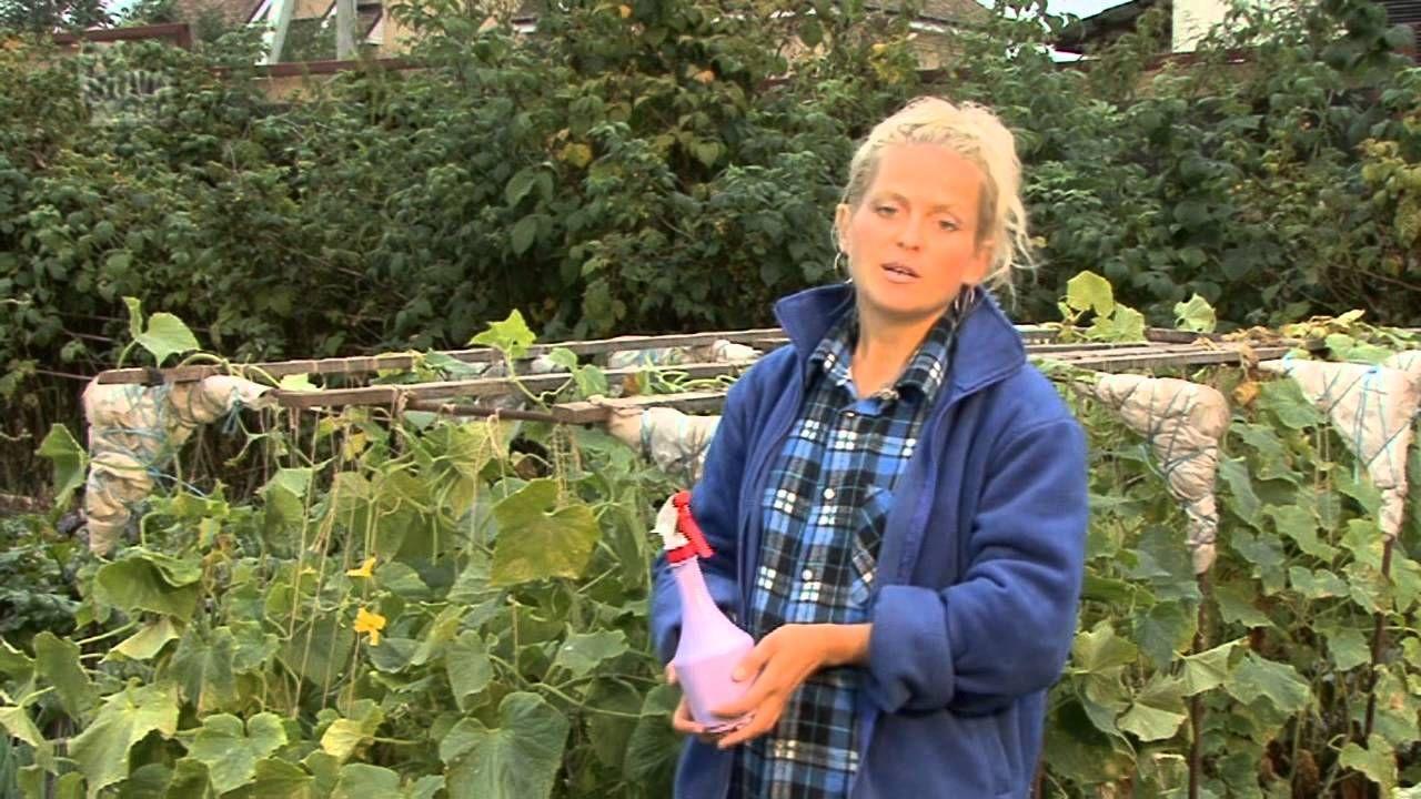 Все о выращивании огурцов. Уход за посеянными огурцами.Часть 5