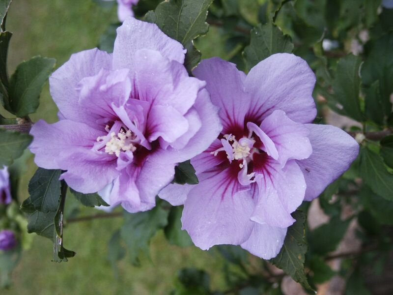 Purple Hibiscus...So Pretty