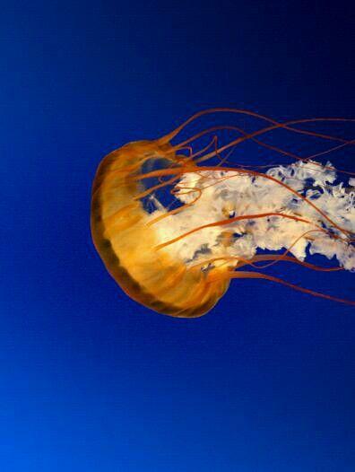 Beautiful Jelly Fish...