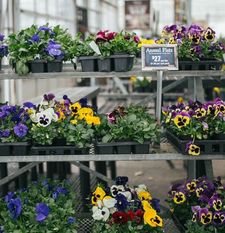 Pansy Flats Pansies Spring Plants Growing Flowers