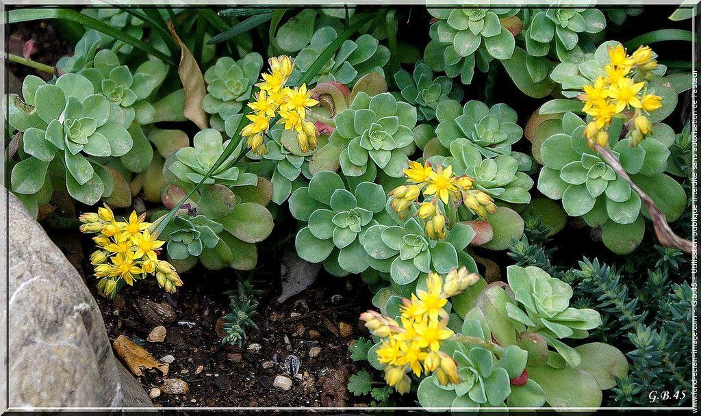 Fleur 1402 Fleurs Jaunes De Plantes Grasses Fleurs Jaunes