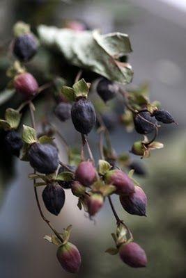 November Lavender Rose