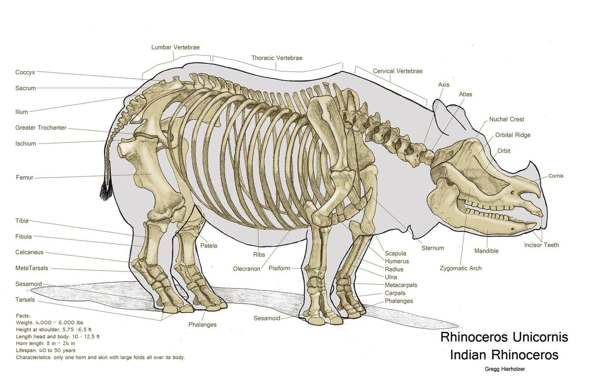 Rhino Skeleton Very Large And Clear Picture Animal Anaotomy