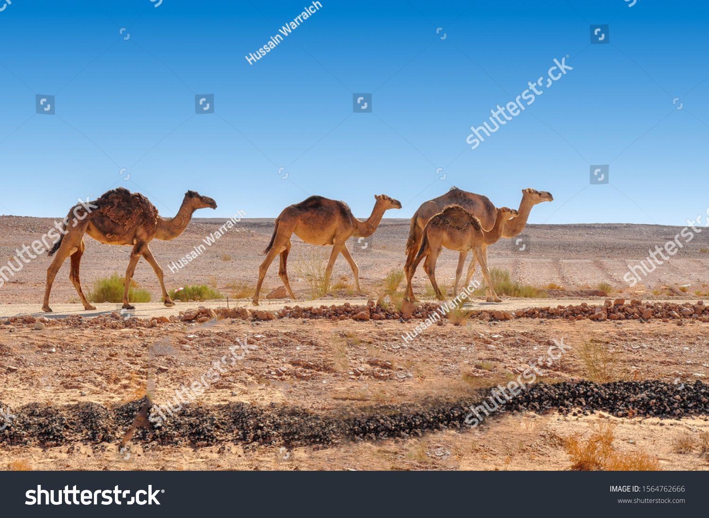Camels Desert Oman Stock Photo (Edit Now) 1564762666