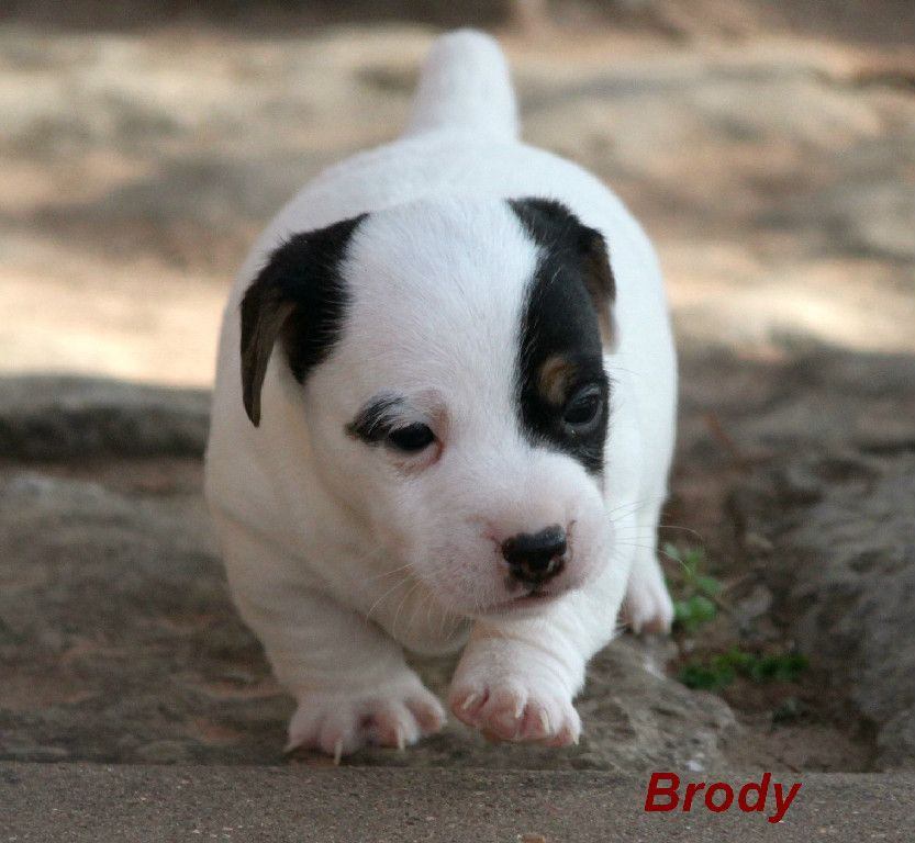 Omg the cutest shorty puppy ever Jack russell dogs, Jack
