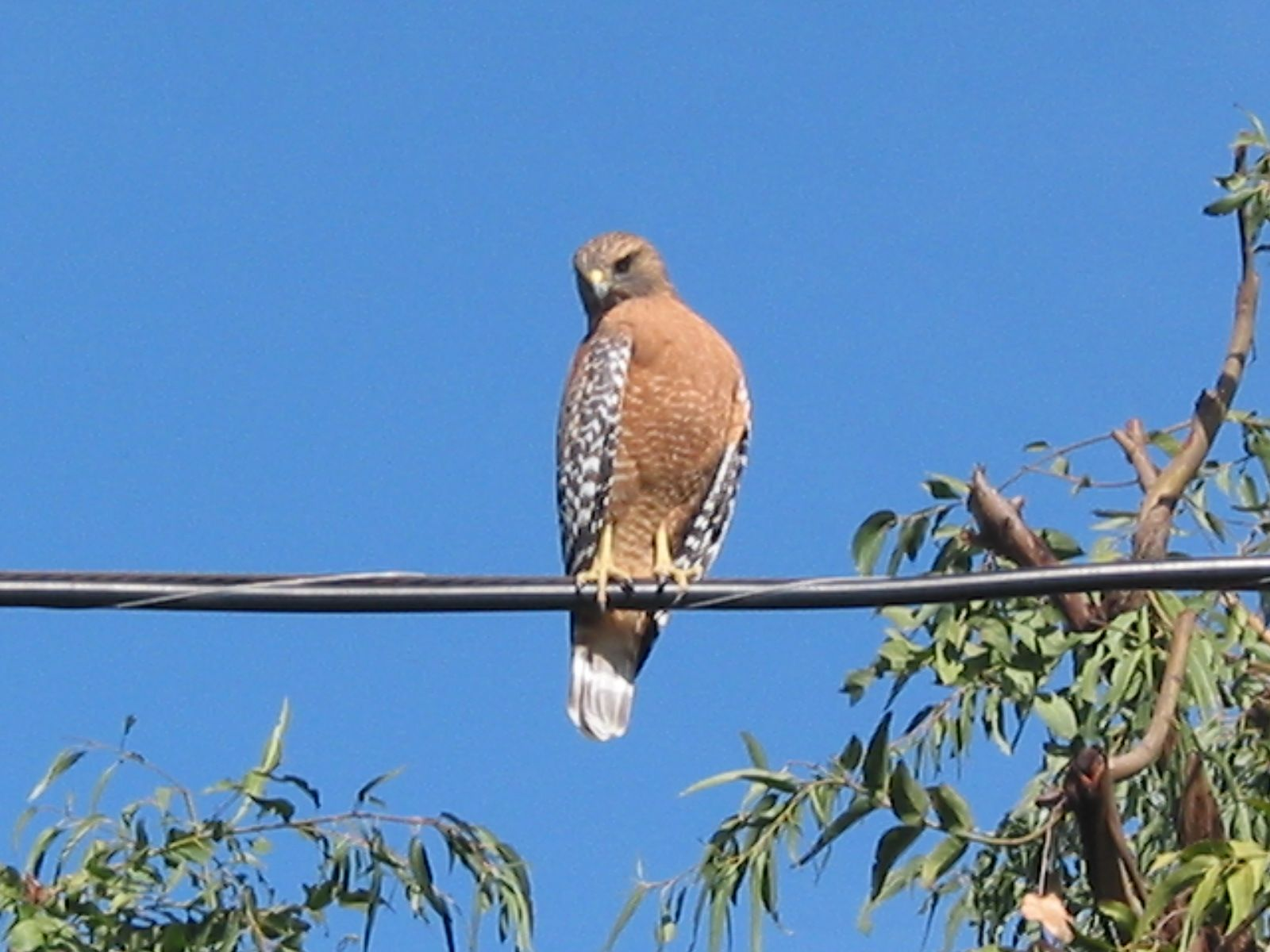 Hawk in Bel AIr Los angeles area, Bel air, Animals