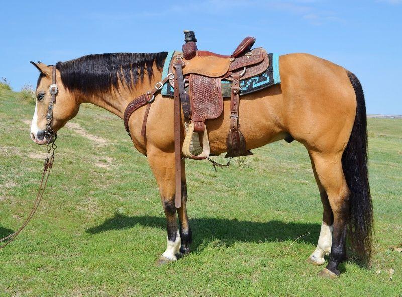 Buckskin Quarter Horse My Full Metal Jacket Horses American