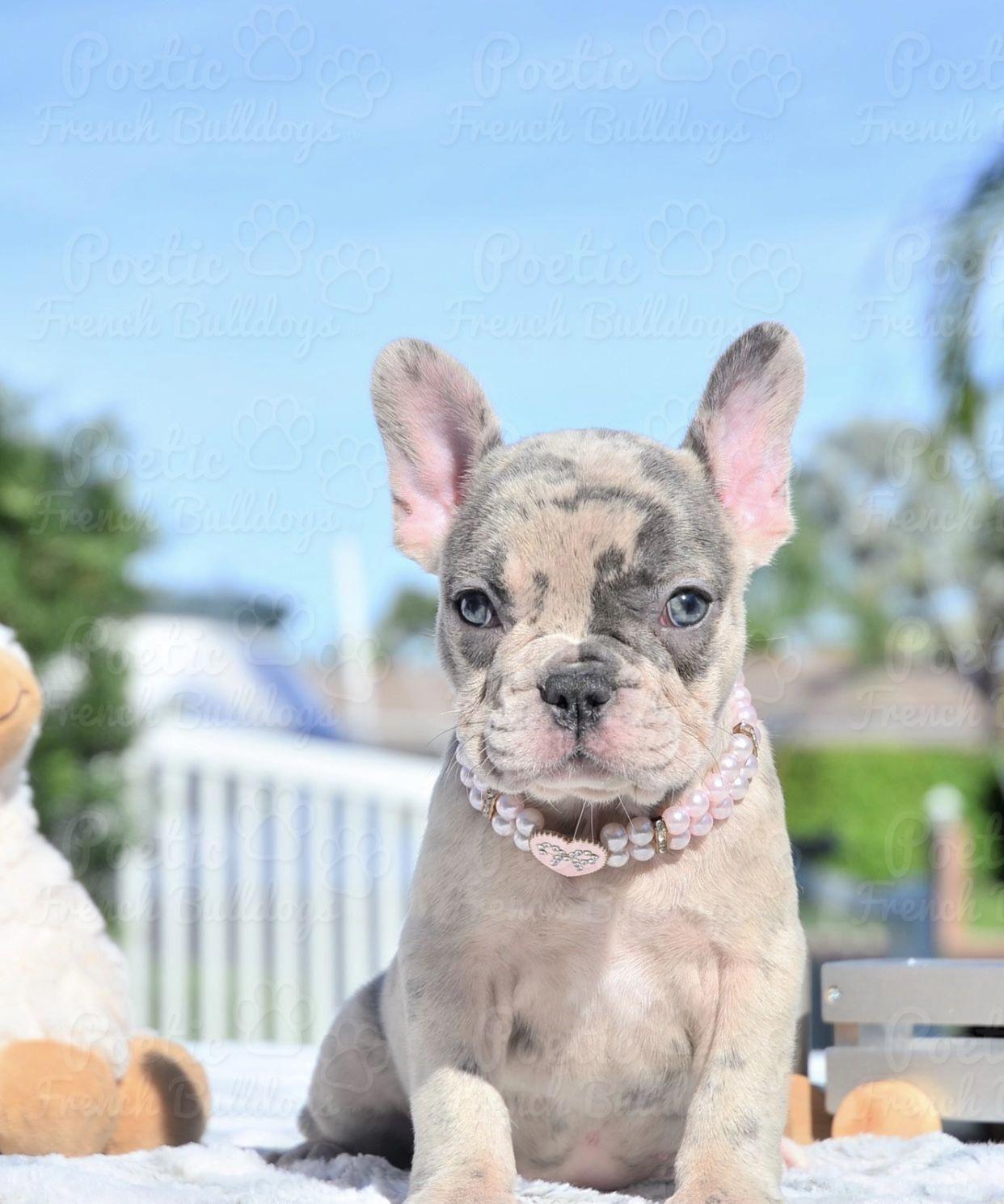 Nova Blue Eyed Blue Merle Female Available Www Poeticfrenchbulldogs Com French Bulldog Puppies For Bulldog Puppies French Bulldog Puppies Bulldog