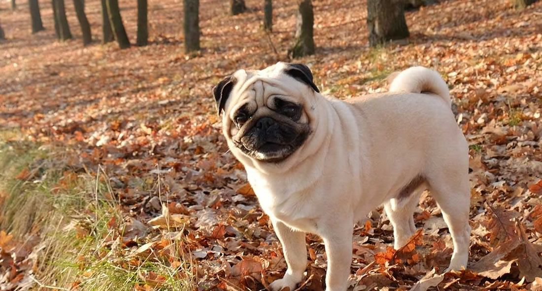 5 Easy Ways To Increase A Pug S Lifespan In 2020 Pugs Old Pug