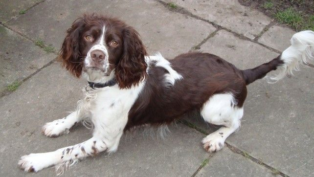 Jasper 1 Year Old Male English Springer Spaniel Available For