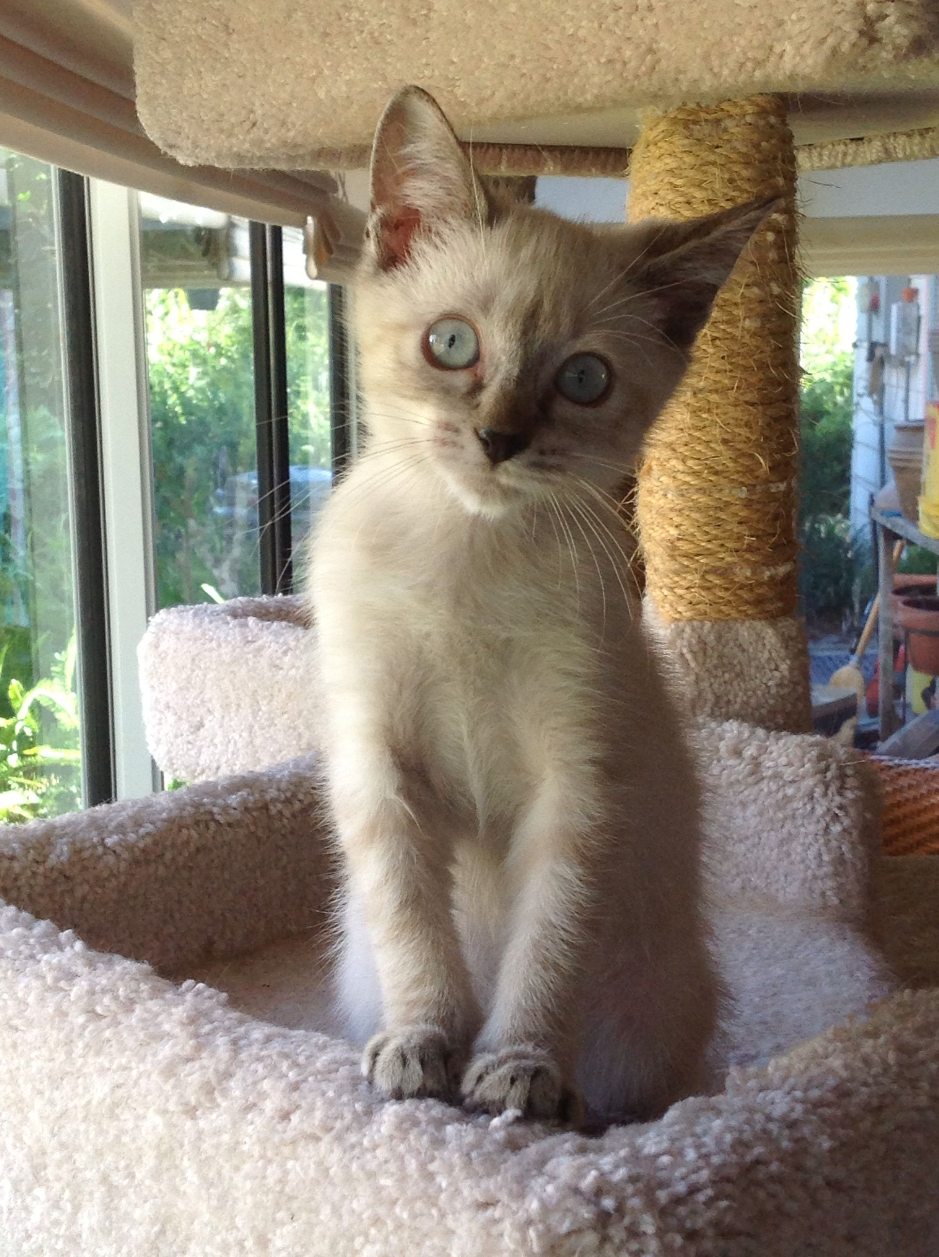 Yuki, our rescue Lynx Point Siamese, at 10 weeks old. Her