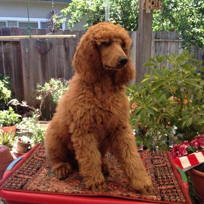Red Standard Poodles Akc Red Standard Poodle Standard Poodle