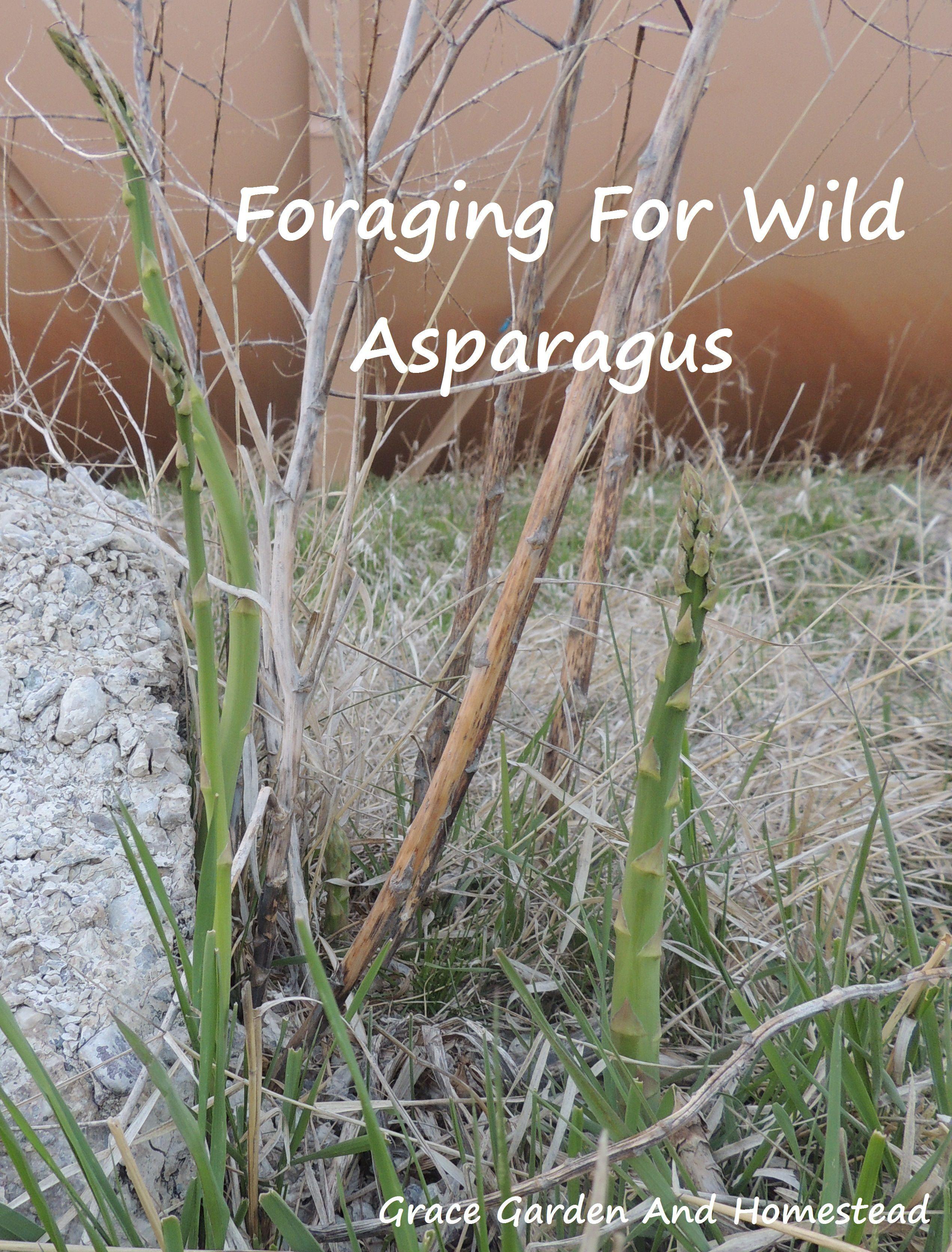 Foraging For Wild Asparagus Wild Foraging Asparagus Foraging