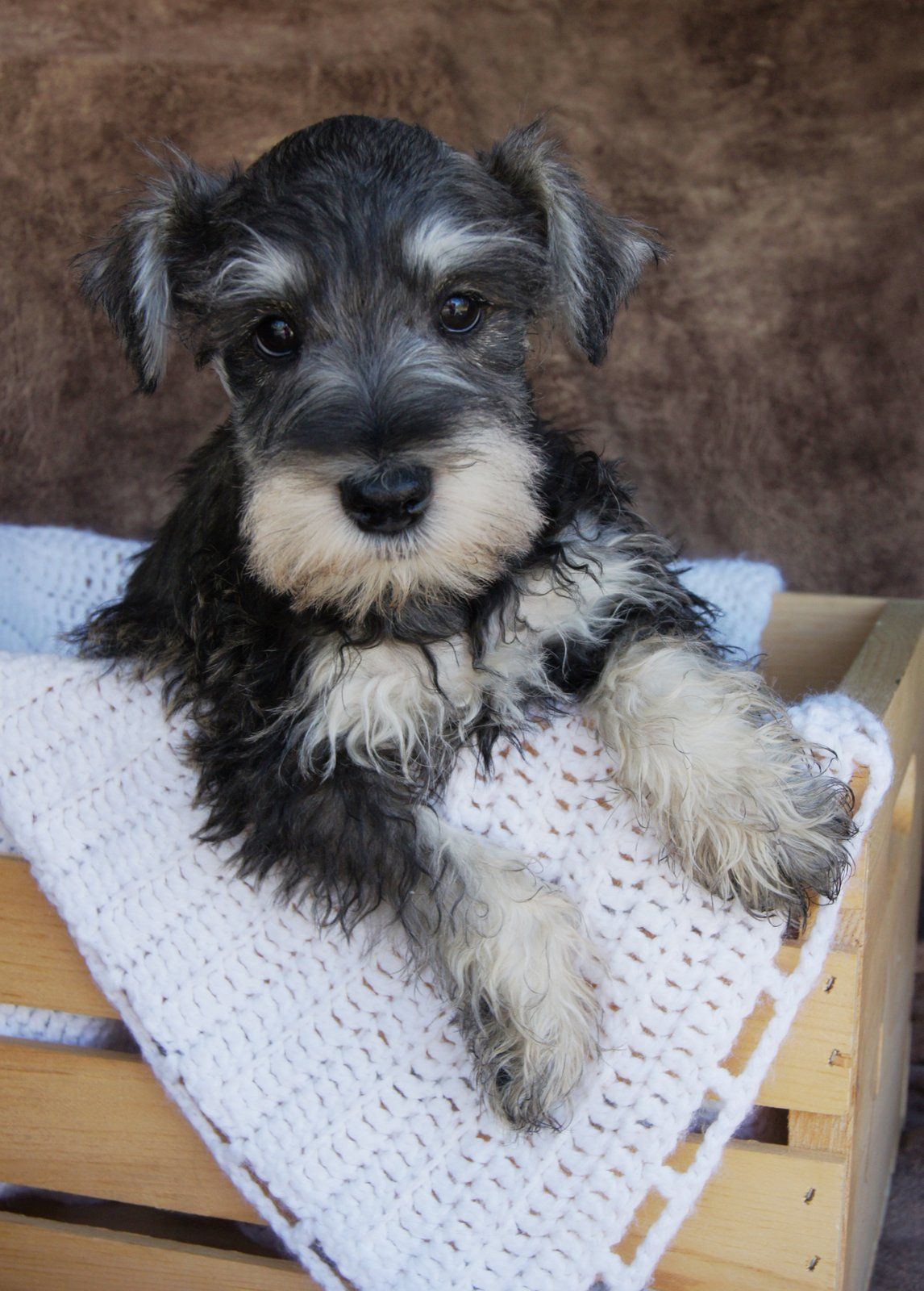 What an adorable little Black and Silver mini Schnauzer