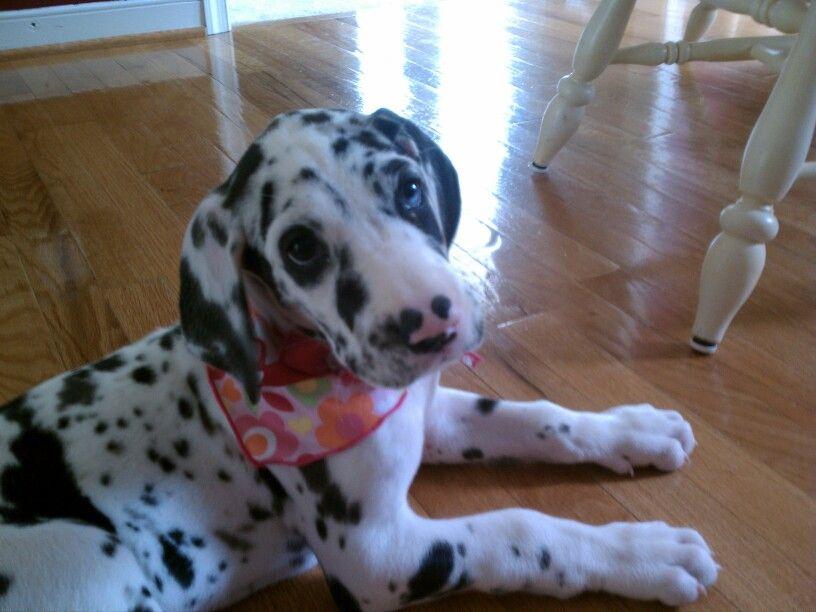 Blue Eyed Harlequin Great Dane Puppy 2mos Harlequin Great Dane