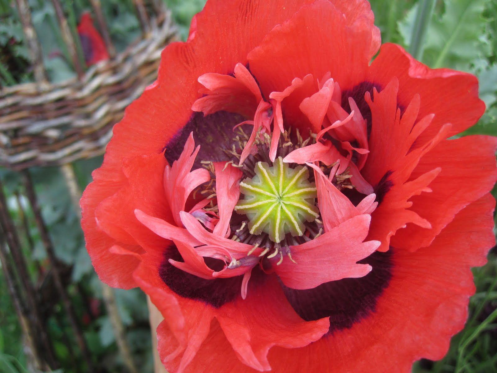 Opium Poppy Flower Flora Of Europe Pinterest Flora