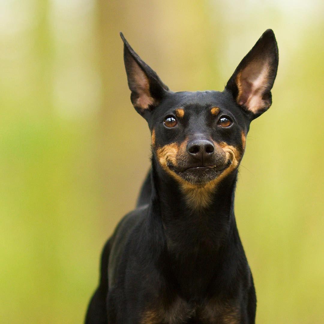 M O J O Verpinscht Miniature Pinscher Mini Pinscher Min Pin Dogs