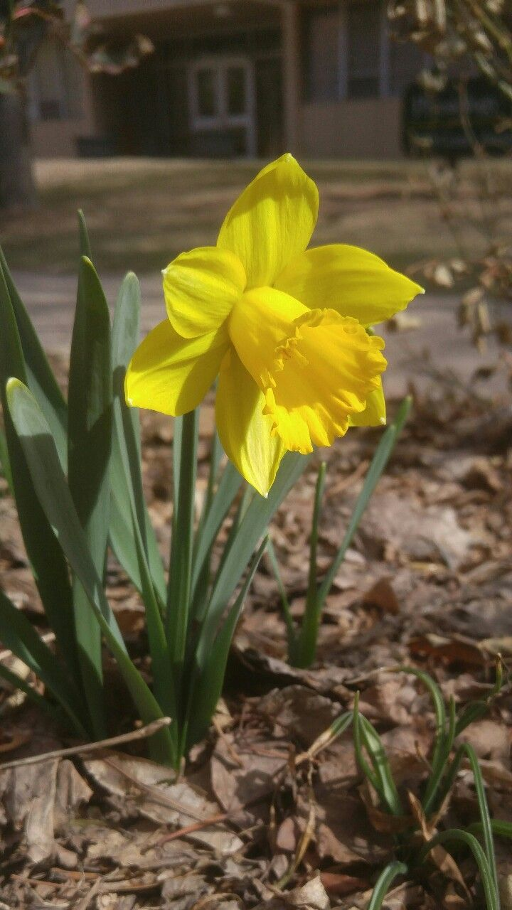 Among the many flowering bulbs planted in the garden, daffodils are one of the most popular and easily recognizable. Daffodils are a number of different species and varieties in the genus Narcissus,...