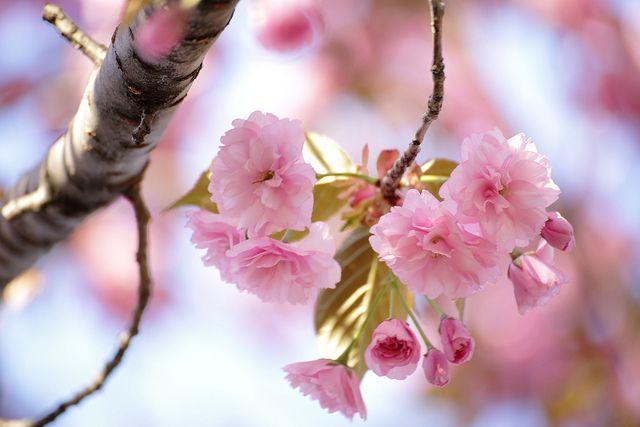 Satozakura (Oriental Cherry) - サトザクラ by aokitetsuya on Flickr.