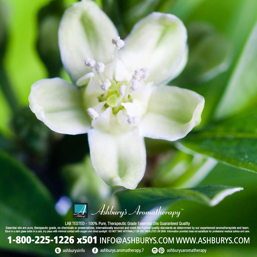 Jasmine jasminum grandiflorumsambac the king of flowers this jasmine jasminum grandiflorumsambac the king of flowers this exotic fragrance calms the izmirmasajfo Gallery