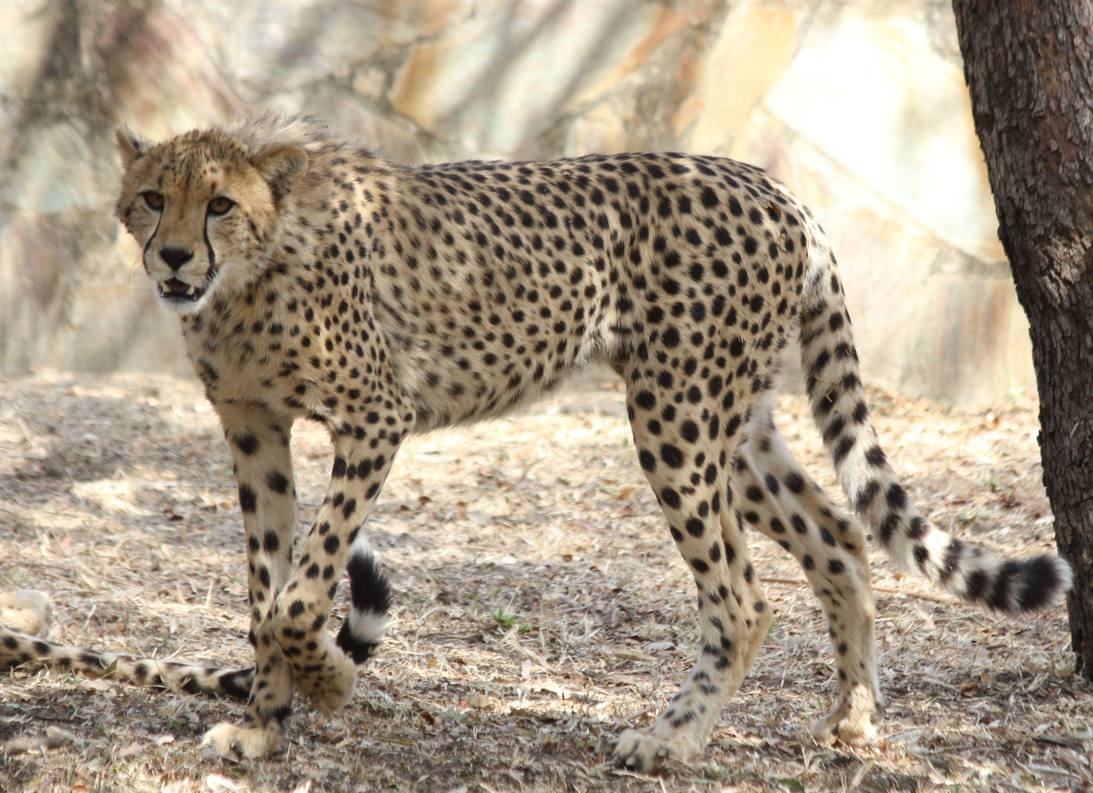 Cheetah photo taken at the hoedspruit endangered species