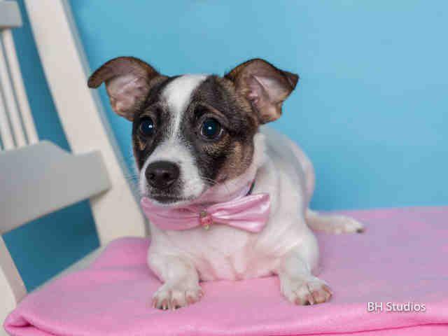 Maya Houston Tx Petharbor Com Animal Shelter Adopt A Pet