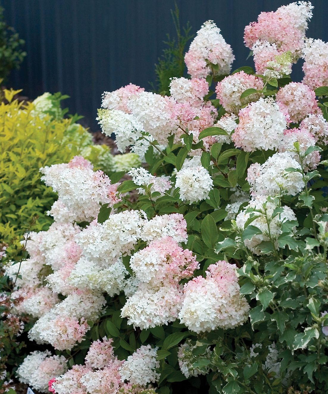 The Flowers Of Semi-dwarf 'Little Lamb Hydrangea Open Pure