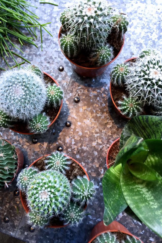 Pots of cacti.