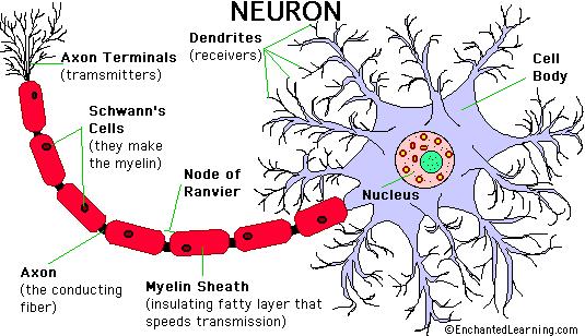 brain diagram google search playtherapy pinterest neuronsbrain diagram google search