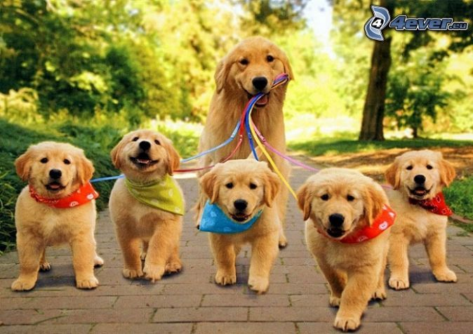 Golden Retriever And Pumpkins Golden Retriever Puppies