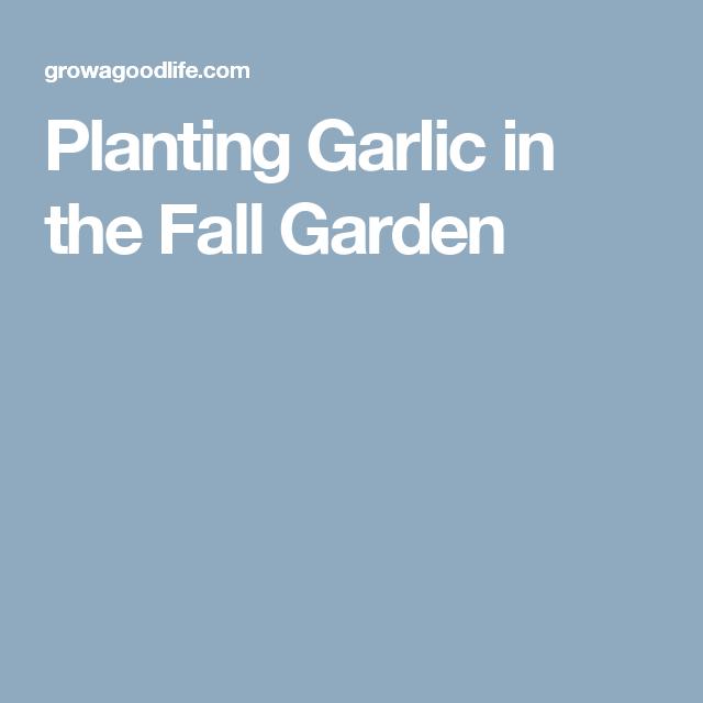 Planting Garlic in the Fall Garden