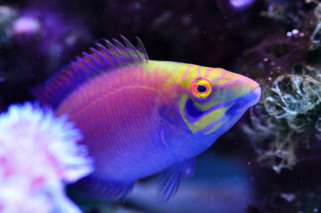 This is the psychedelic Mystery Wrasse (Pseudocheilinus ocellatus), a gorgeous fish that looks like something out of a fantasy novel. i love him!