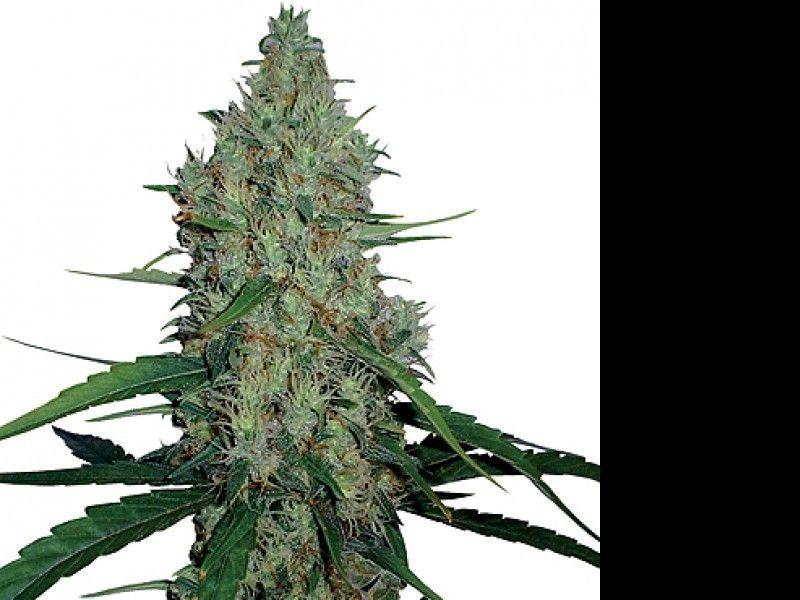 усы марихуаны