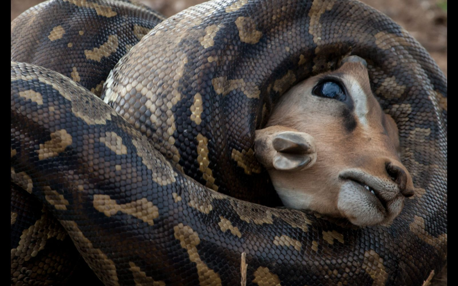 An African rock python kills an impala in Kruger National