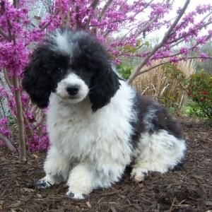 Black And White Parti Poodle Toy Poodle Black