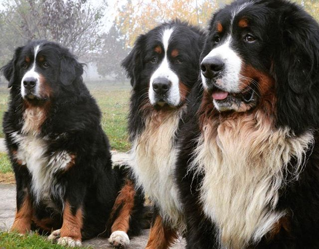 Bernese Mountain Dogs, gorgeous More