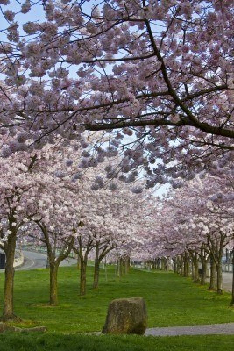 Cherry Blossoms A Magnificent Sight Rain Or Shine Photos Oregon Road Trip Oregon Travel Portland Travel