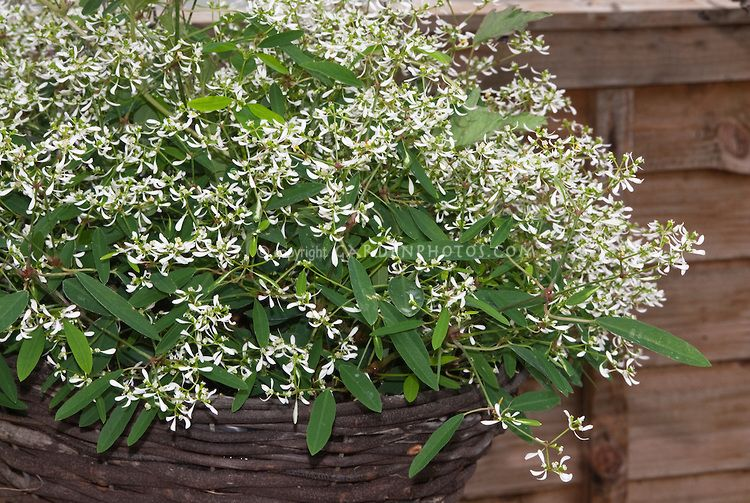 Euphorbia Breathless White Aka Balbrewite In Flowers Flower Beds