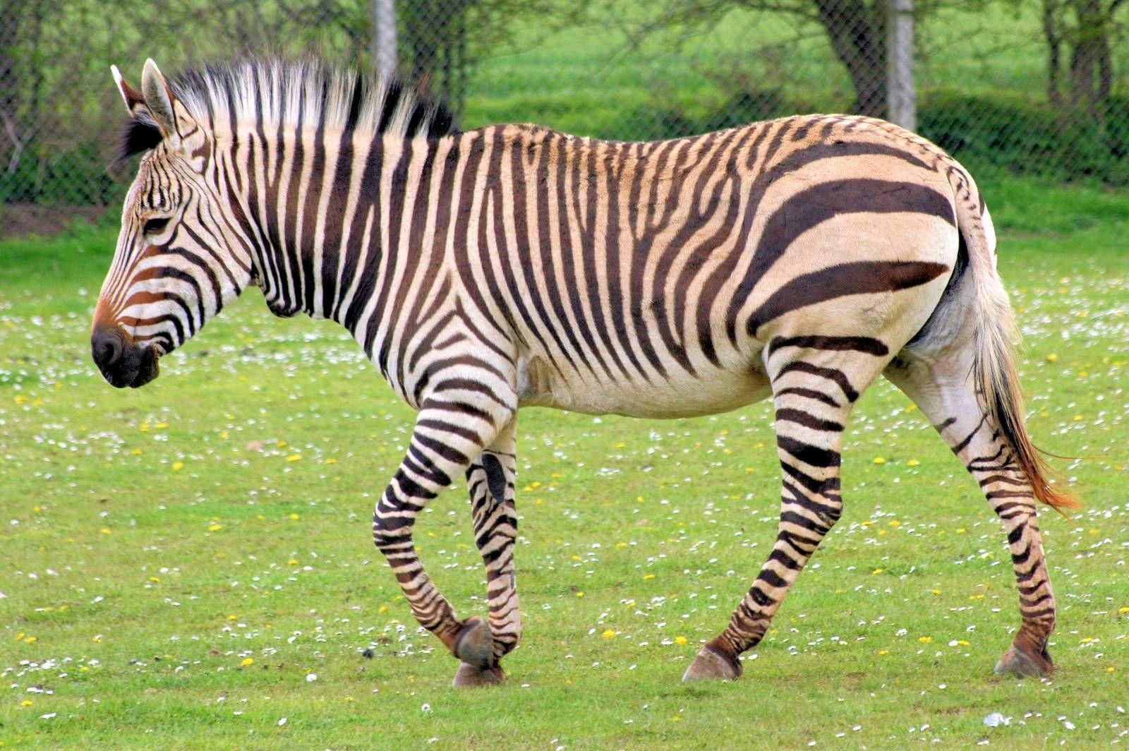 Hartmann\'s mountain zebra; Linton Zoo; 14th April 2012 » Linton ...